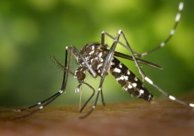 Mieux connaître le moustique tigre