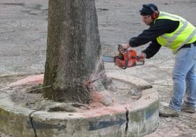 Début des travaux… abbatage de l'arbre
